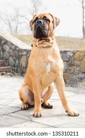 junior puppy bullmastiff sitting outside in the park. dog  9 months age