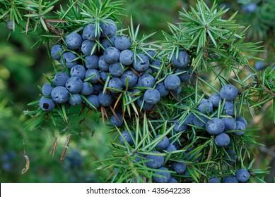 Juniper berries, evergreen, national park Abruzzo Lazio Molise