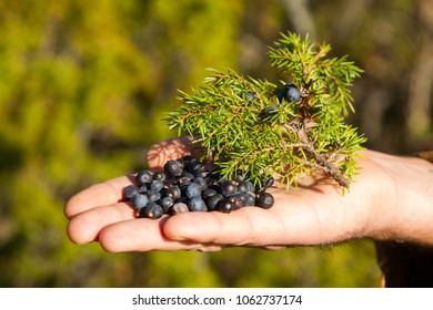 Juniper berries in hand