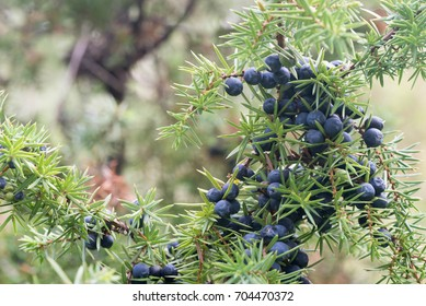 juniper berries on branch closeup