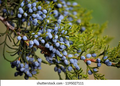 Juniper berries on green branch on blurred nature background. Autumn bush of juniper. Evergreen gin tree for essential oil & pharmacy remedy. Beauty, spa, cosmetic ingredient of product. Juniper twig
