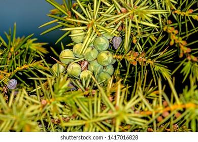 juniper berries, ripe and unripe
