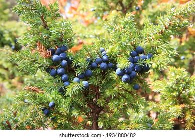 Juniper berries.  Russia, Buryatia, Bauntovsky district.