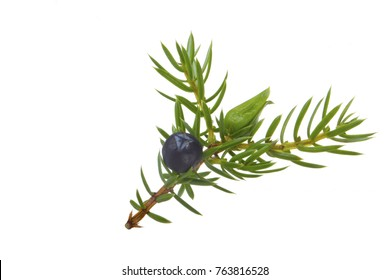 juniper berry wuth needles isolated