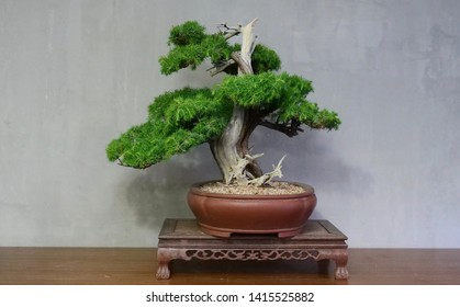 Juniper bonsai and display, Forest style bonsai and display