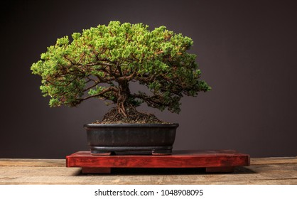 A Juniper Bonsai Tree Sits On A Display Table On A Wooden Bench