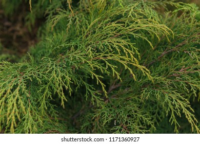 Juniper branches close up in cloudy day. Nature theme.