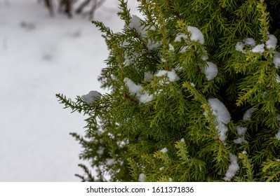Juniper branches covered with snow, nature winter background. Snow covered branches in winter. Winter landscape. Snow covered trees. Frozen twigs closeup. Selective focus