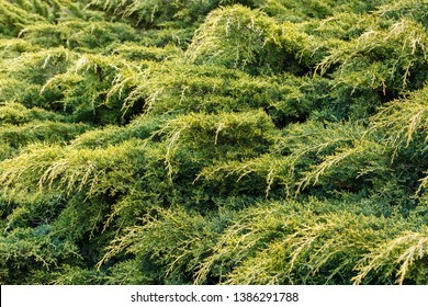 Juniper branches. Juniperus. Protection against erosion.