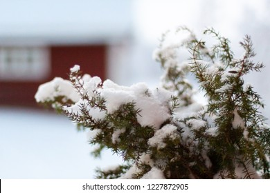 juniper branches snow