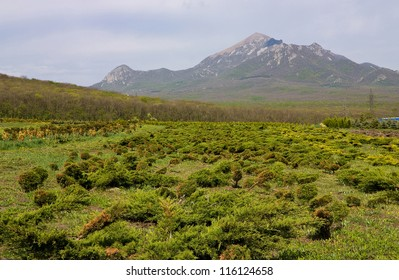 Juniper bushes in the background of the mountain Beshtau,Northern Caucasus.