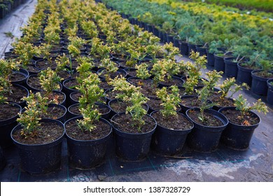 Juniper bushes in garden shop. Seedlings of juniper bushes in pots in garden store spring. Nursery of various green spruce plants for gardening. Different seedlings (Chamaecyparis, Thuja, Taxus, etc.)