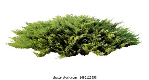 Juniper creeping shrub isolated on a white background, juniperus horizontalis bush isolated