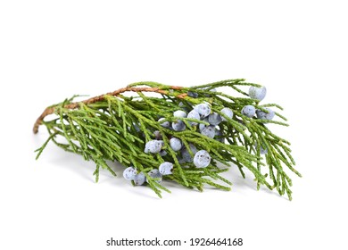 Juniper (Juniperus Sabina) Foliage with Berries (Cones). Known as Savin Juniper. Isolated on White.