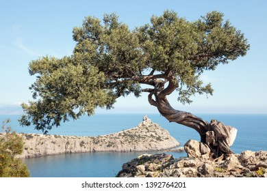 Juniper on the rock against the background of the sea. Russia, Crimea.
