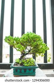 Juniper procumben bonsai! Cute