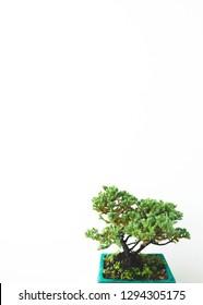 Juniper procumben bonsai!! Way too cute