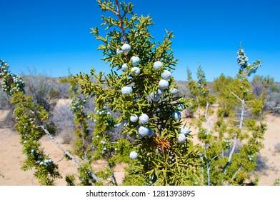 Juniper tree and berries.