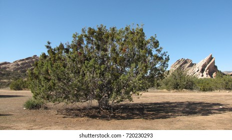 Juniper tree in the desert, California