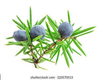 Juniper twig with berries isolated on white background