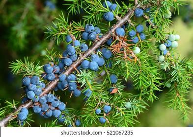 Junipers, berries,