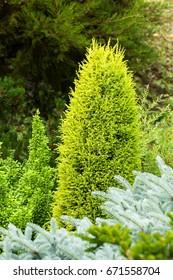 Juniperus communis Suecica Aurea in the garden landscape. Selective focus