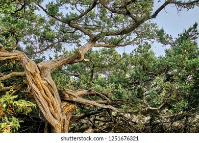 Juniperus high (Juniperus excelsa) is a coniferous plant of the genus Juniper cypress family, in a juniper grove in the Crimea. Evergreen juniper branches against the blue sky. Close-up.