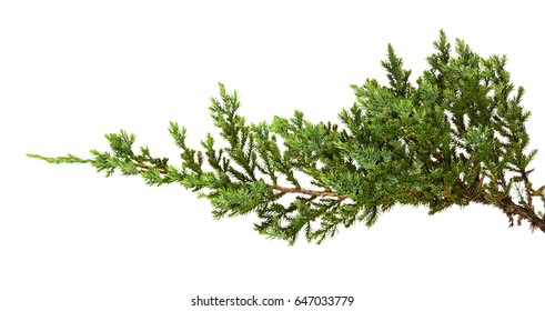 Juniperus horizontalis leaves or Creeping juniper leaves isolated on white background, with clipping path