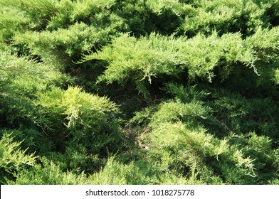 Juniperus pfitzeriana mint julep green shrub