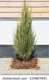 Juniperus scopulorum Skyrocket in the modern garden