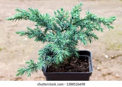 Juniperus squamata Hunnetorp (flaky juniper or Himalayan juniper) in pot closeup on blurred soil background
