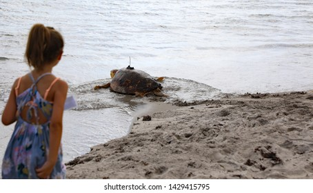 JUNO BEACH, FL/USA - JUNE 19, 2019:  The Loggerhead Marinelife Center is releasing a sea turtle this morning.  The male turtle weighing over 200 pounds has been brought back to good health.