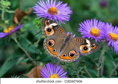 Junonia coenia, known as the common buckeye or buckeye on New England Aster. It is in the family Nymphalidae. Its original ancestry has been traced to Africa.