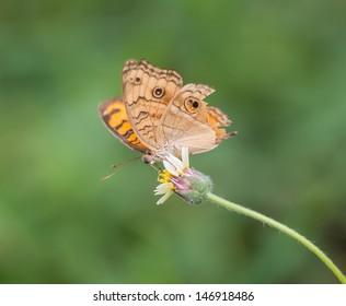 Junonia orithya butterfly on flower