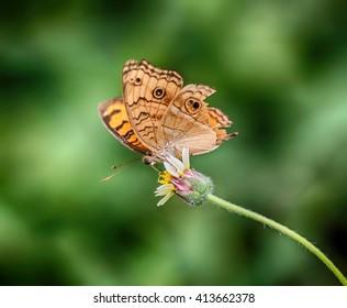 Junonia orithya butterfly on flower ,Thailand
