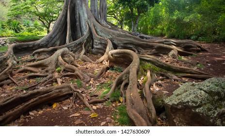 Jurassic Park Trees On Kauai