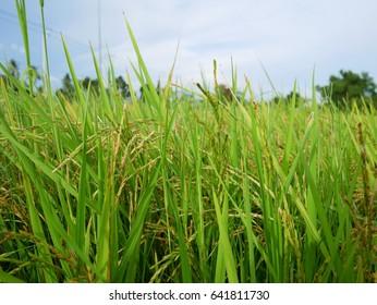 jusmin rice