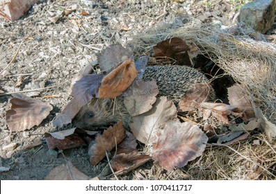 just awake, a hedgehog leaving his winter nest for the first time a sunny spring day