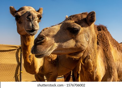 Just a beautiful photo of 2 camels having a good time whilst showing off their companionship.