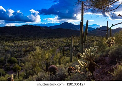 Just before sunset in Saguaro National Park west of Tucson, Arizona. Blue skies with puffy clouds, cholla cactus, chaparral, and other Sonoran Desert plant life. Mountains and a cacti forest. 2018.