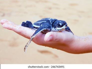 Just born baby Leatherback turtle  ( Dermochelys coriacea) on a child's hand.  Island of Puerto Rico, United States