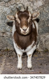 Just born baby white goatling nannie looking at you