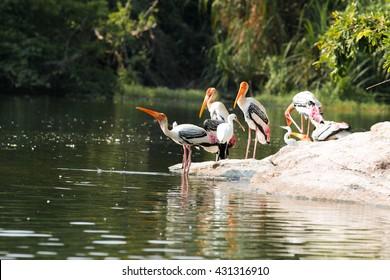 Just caught the painted stork taking a sip from the lake. Shot taken at Ranganathittu Bird sanctuary, Mandya, Karnataka, India  - 01/April/2016