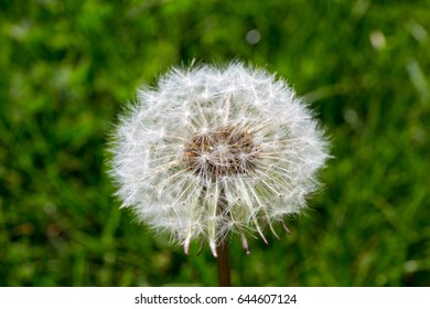 Just a dandelion against a background of green grass.