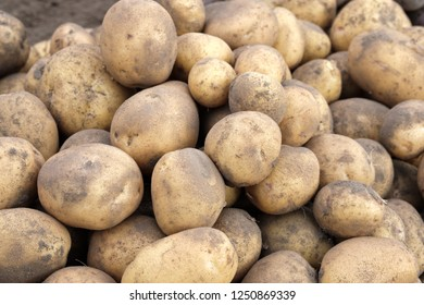 just dug up white potatoes, lying on the ground