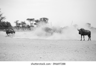 Just dust and sand as a number of Blue Wildebeest fighting it out in the Kgalagadi Transfrontier park. Image in black and white.