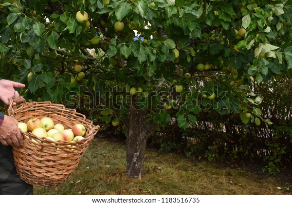 Just harvested apples in a basket in front of an apple tree with apples