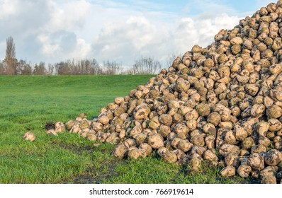 Just harvested sugar beets on a large heap in the grass in front of an embankment in the Netherlands. It is autumn now.