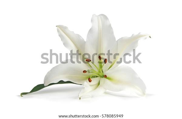 Просто Одинокая Лили Будучи красивой - белая Лили символизирует девственность, целомудрие и добродетель, вот одинокая голова изолирована на белом фоне