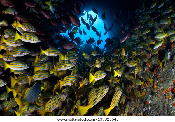 Just off Cocos Island, Costa Rica, a large school of snapper cruise through a hole in a pinnacle.  This remote island is known for its large populations of sharks and fish.